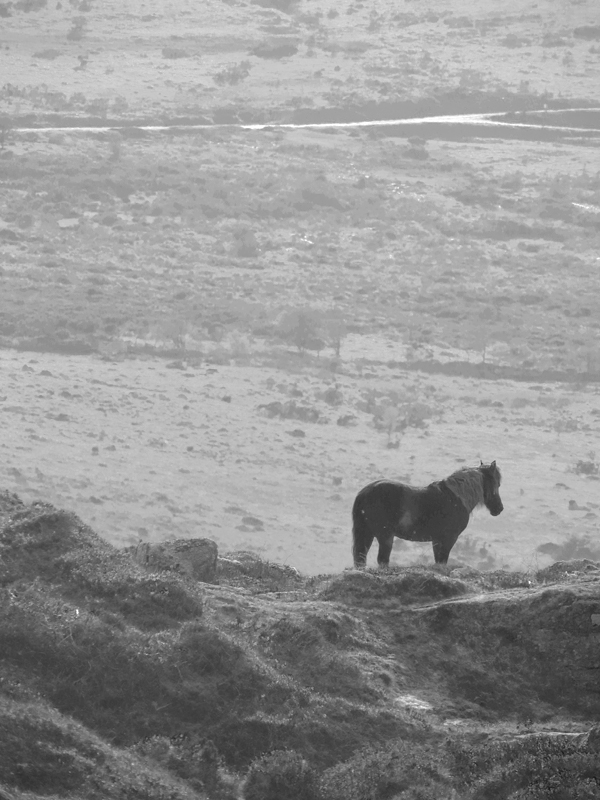 Horse in the Dartmoor National Park